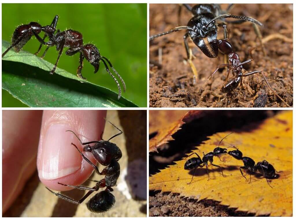 Муравей пуля. | клуб любителей муравьев