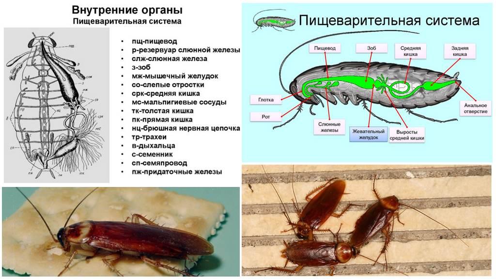 Тараканы домашние: как отличить самку от самца, размножение и развитие