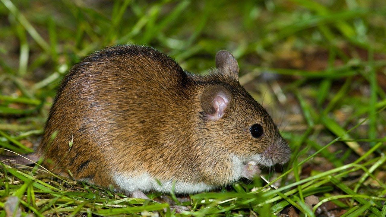 Водяные крысы на дачном участке: как обнаружить врага и выиграть войну с ним