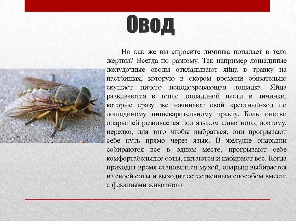 Личинка овода в человеке – как в организм попадает личинка, стадии ее развития | rvdku.ru