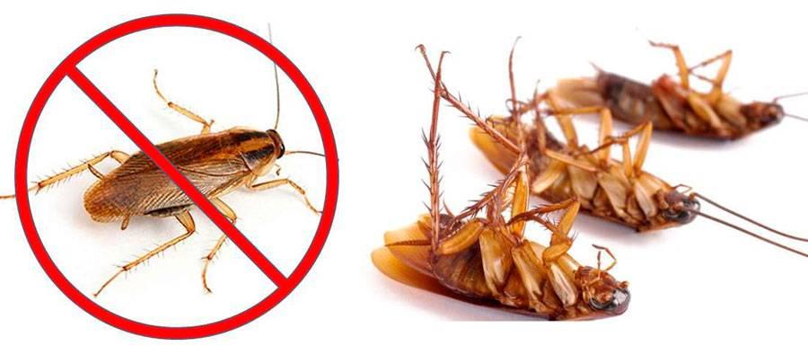 Как вывести больших рыжик тараканов (прусаков)