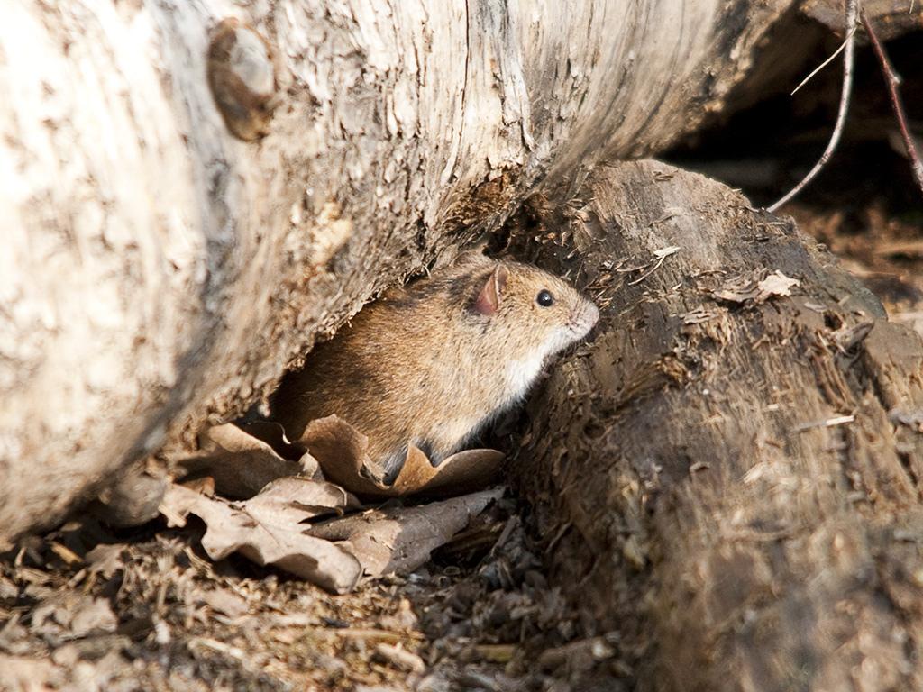 Мышь полевка — описание и фото грызуна, методы защиты урожая