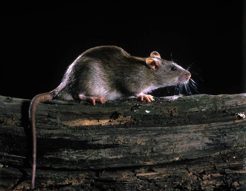 Серые крысы - фото и описание