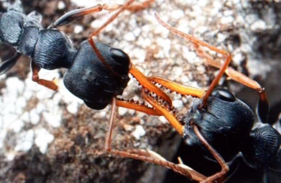 10 самых невероятных муравьев на земле