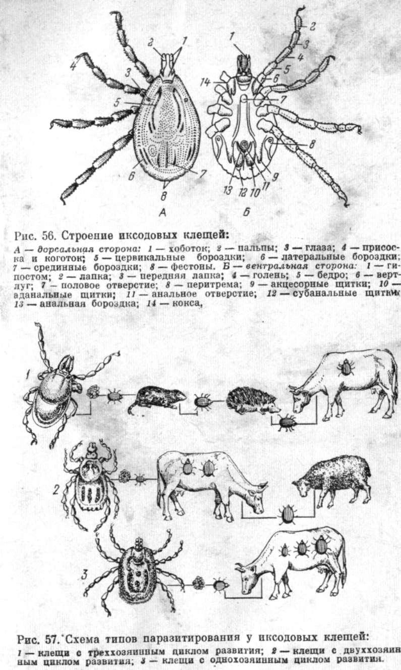 Сезонная миграция синантропов — где зимуют клещи