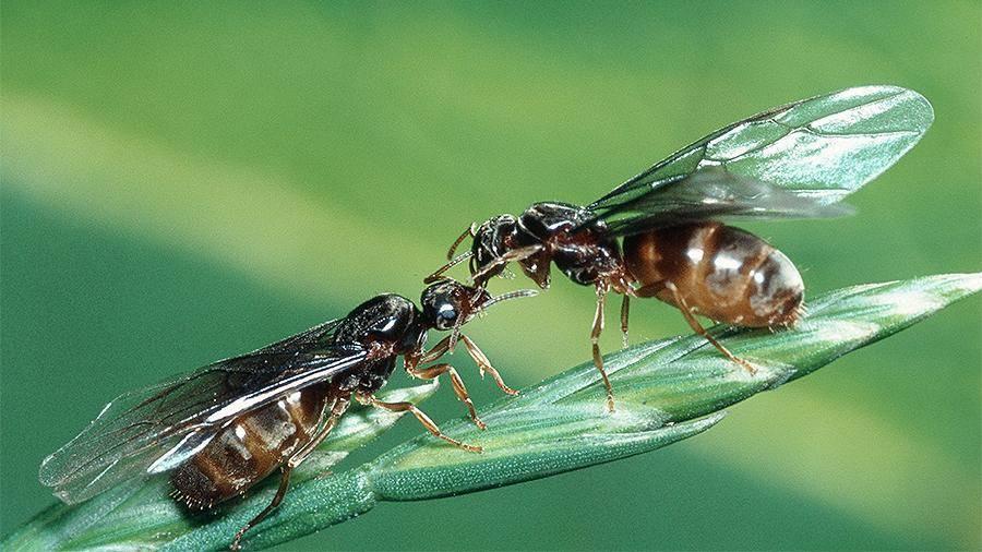 Летающие муравьи и чем они отличаются от бескрылых собратьев