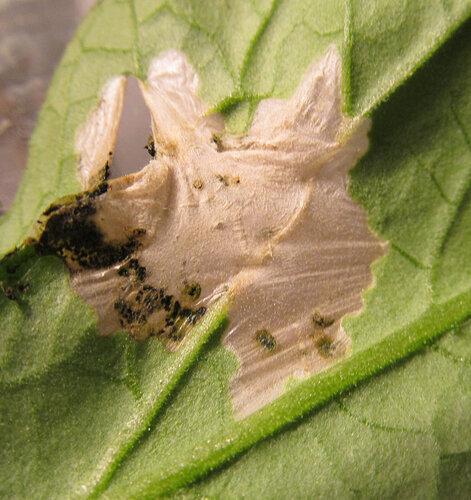 Описание томатной моли: внешний вид и стадии развития, меры борьбы с вредителем