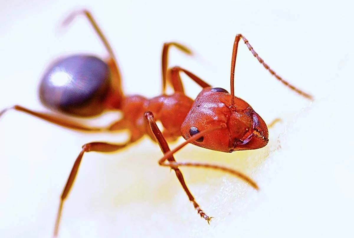 Как называется красный муравей. огненные муравьи. кто больней укусит? история красных муравьев