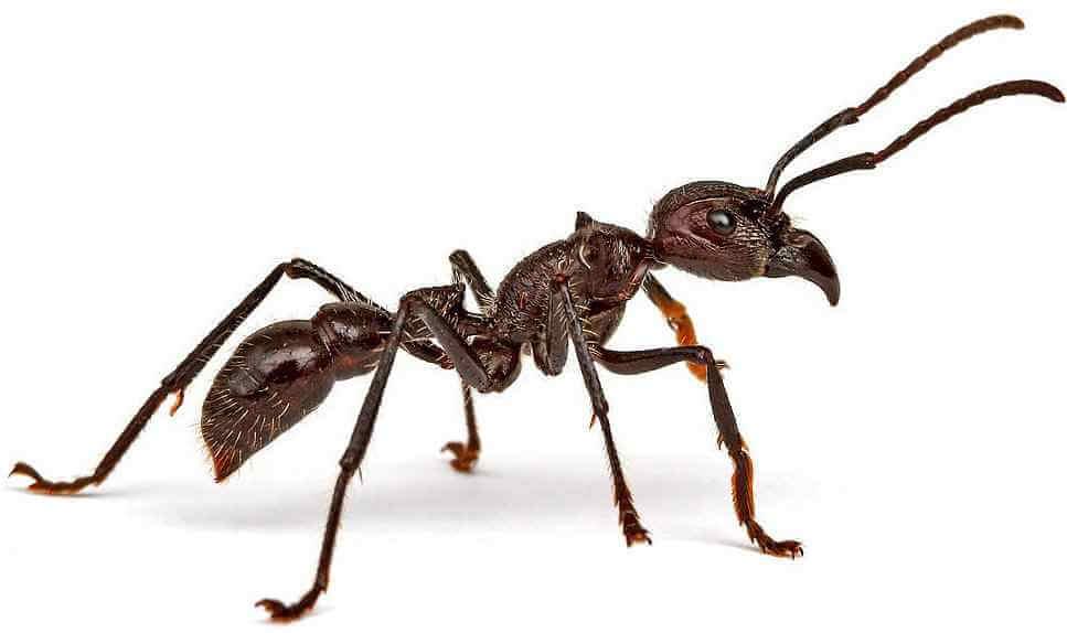 Муравей-пуля – уникальное насекомое с мощным жалом. о муравьях-пулях: обыкновенная жизнь необычных насекомых медоносная пчела и шершень