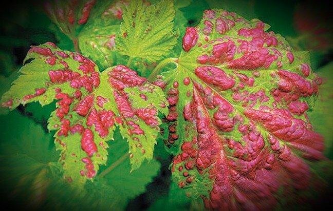Галловая тля на смородине – основные методы борьбы