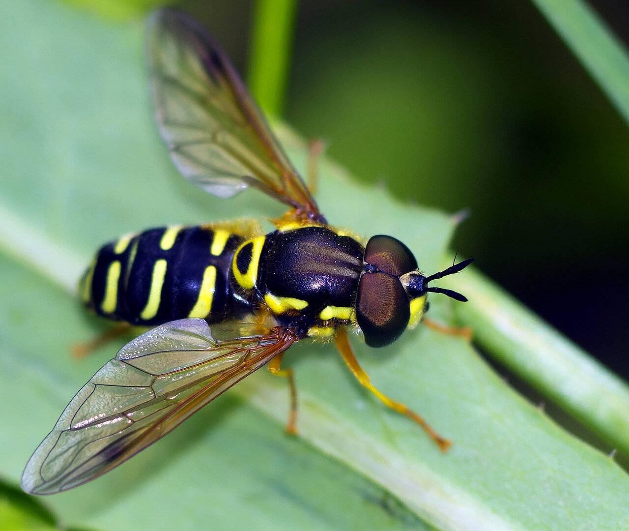 Стоит ли опасаться навозных мух. зеленая навозная муха