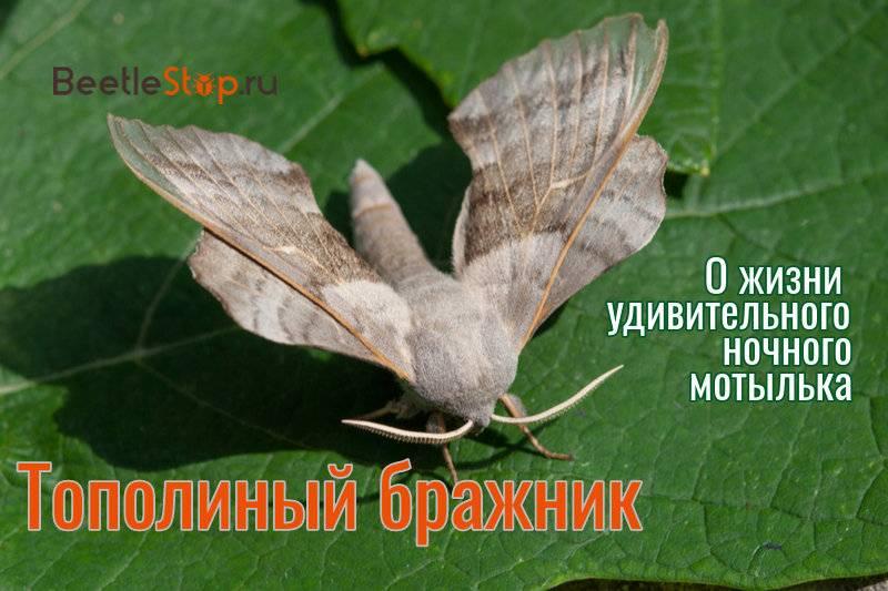 Бражник языкан – «колибри» на дачном участке