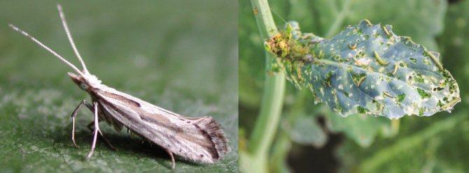 Как отвоевать капустные грядки у гусениц: методы борьбы и профилактика
