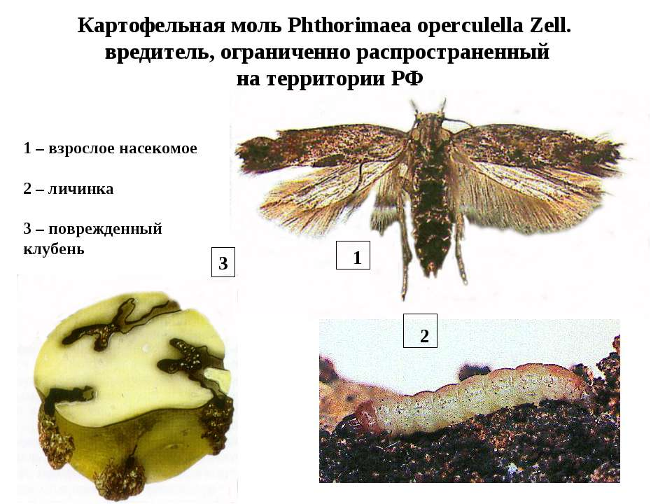 Картофельная моль: описание, образ жизни, советы по избавлению от вредителя