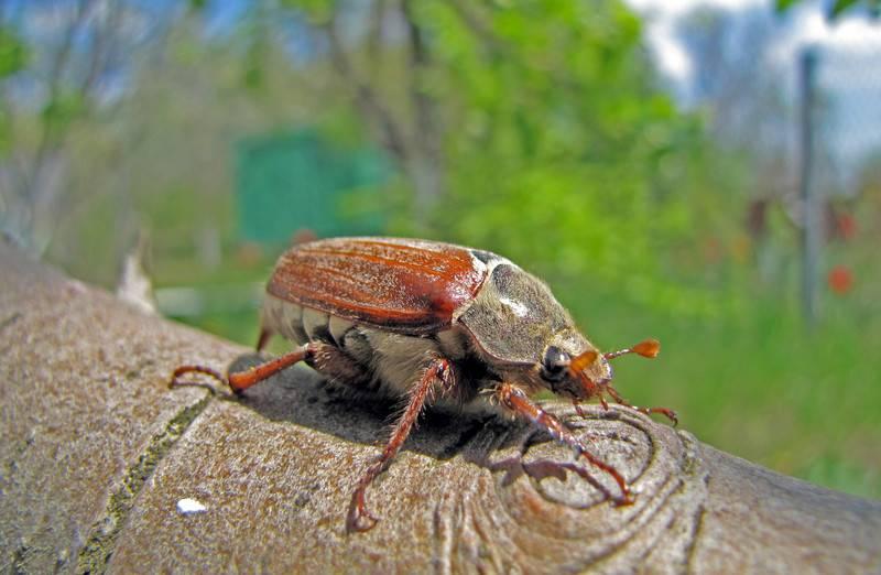 К чему снится жук - значение сна жук по соннику