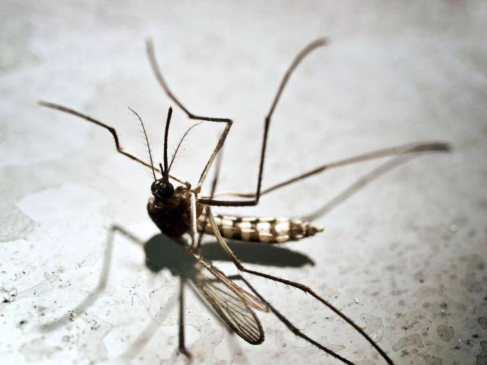 Как избавиться от жука-стригуна: как выглядит, какой вред наносит, методы борьбы - агротехнические, химические, народные, обзор лучших инсектицидов, их плюсы и минусы