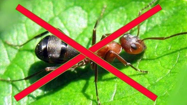 Народный способ избавиться от муравьев