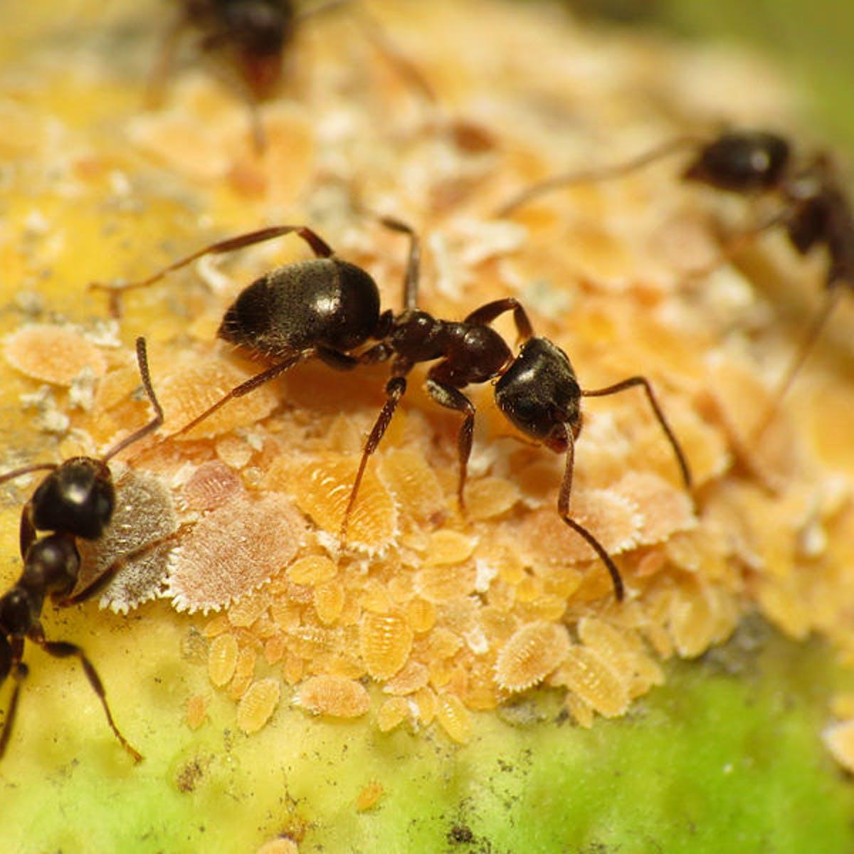 Виды муравьев: бульдоги, жнецы, фараоновы, древоточцы и другие