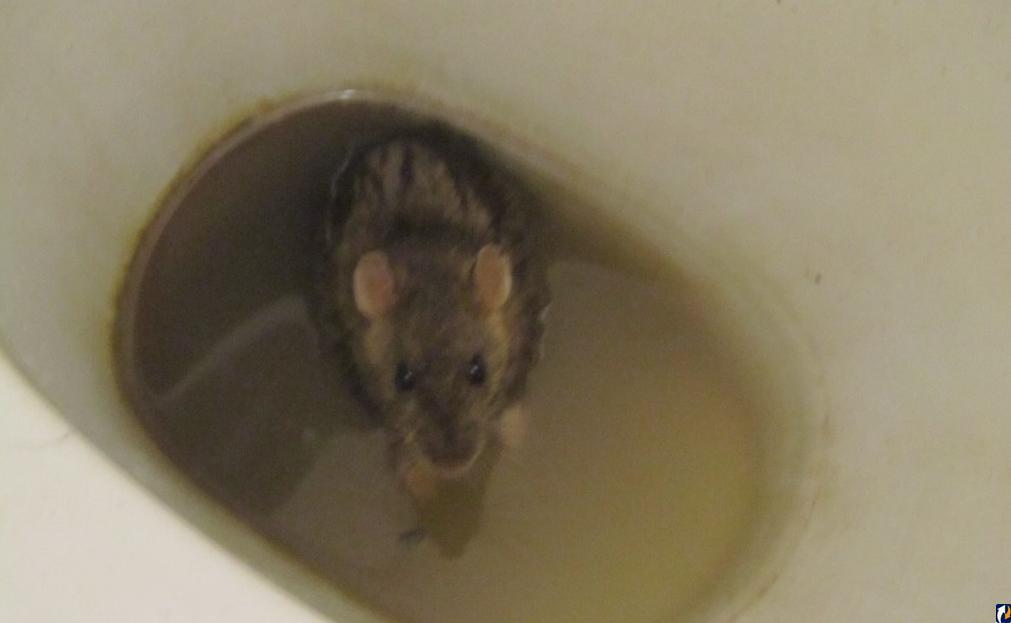 Крыса в унитазе из канализации – откуда берутся, что делать и как избавиться