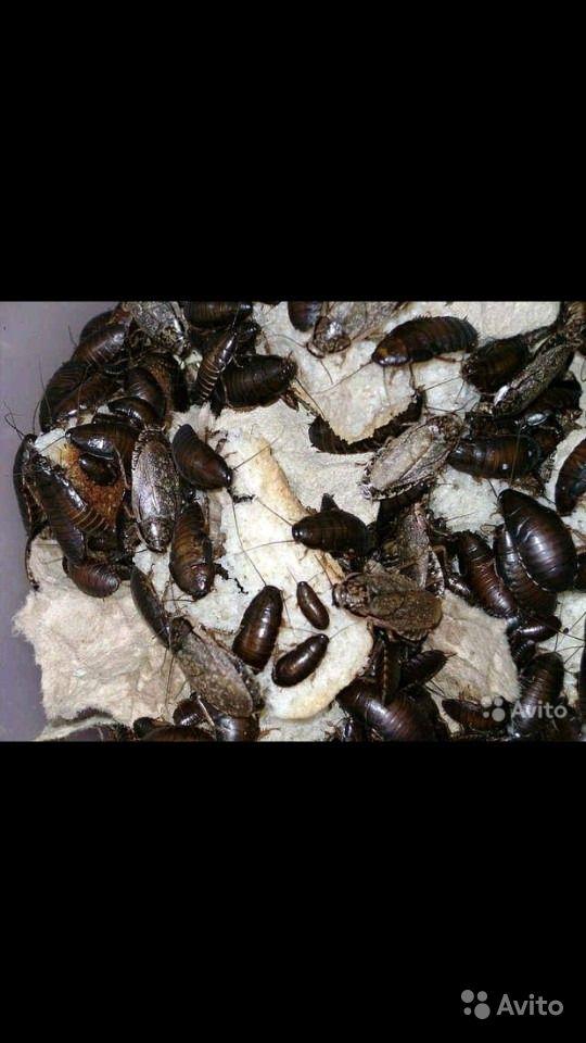 Мадагаскарский таракан: содержание, кормление, уход и размножение в домашних условиях
