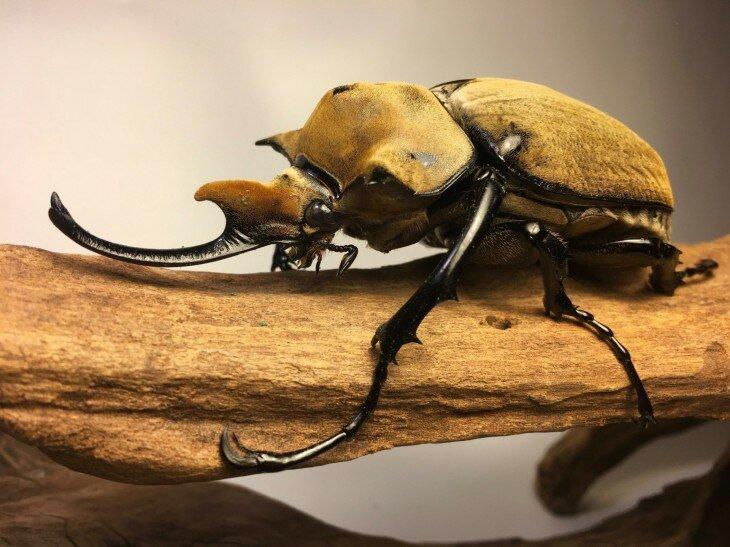 Жук геркулес насекомое. образ жизни и среда обитания жука геркулеса