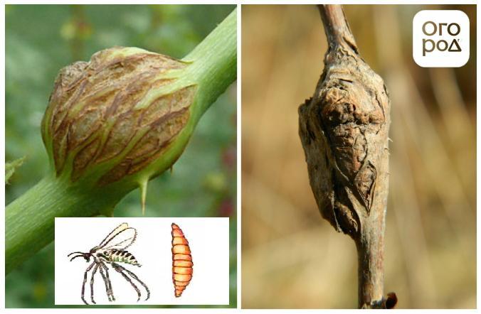 Стеблевая галлица на малине: как бороться и как предупредить ее появление стеблевая галлица на малине: как бороться и как предупредить ее появление