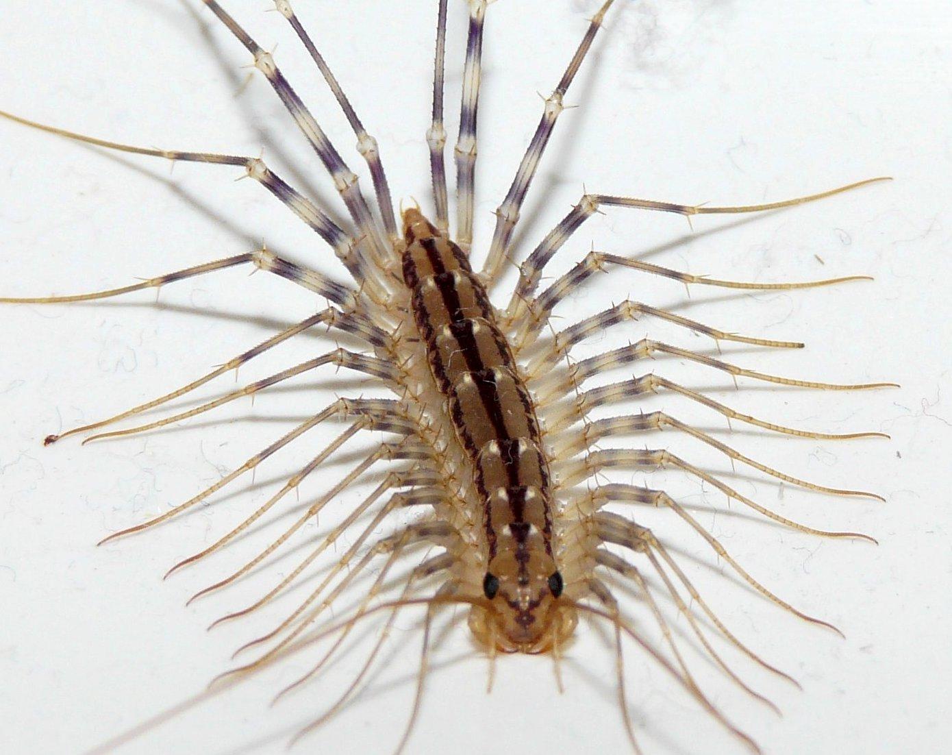 Сколопендра – ядовитая многоножка
