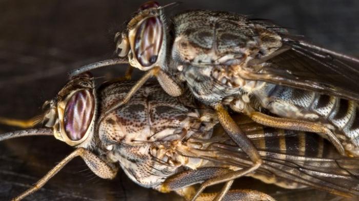 Муха цеце: образ жизни и вредоносность африканского насекомого