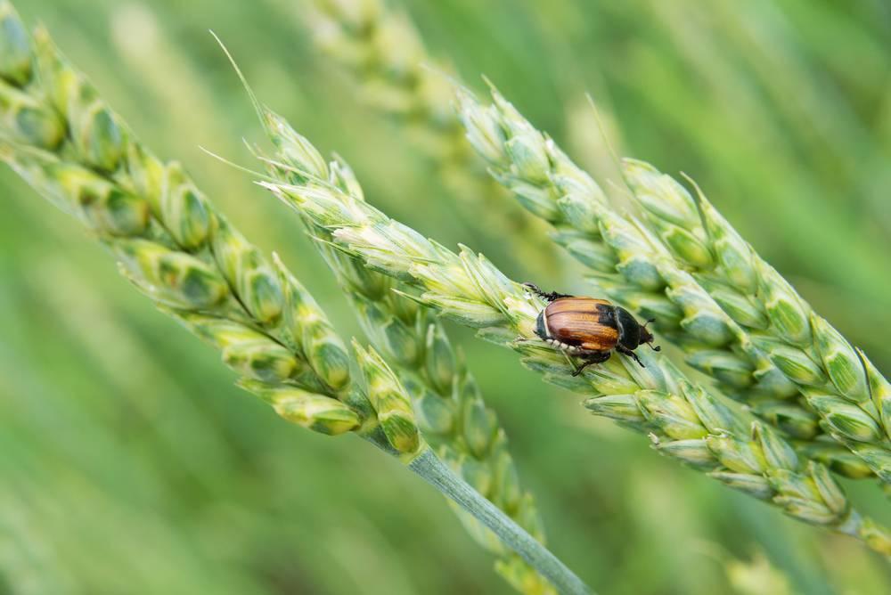 Чем опасна шведская муха на озимой пшенице и как бороться с ней и другими вредителями злаковых