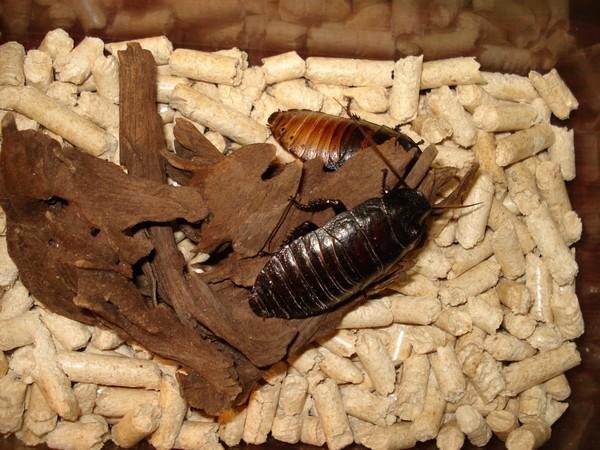 Мадагаскарский таракан мерзость или любимый питомец