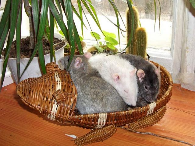 Плюсы и минусы домашних крыс: легко ли содержать, какие возможны бытовые сложности, отзывы владельцев