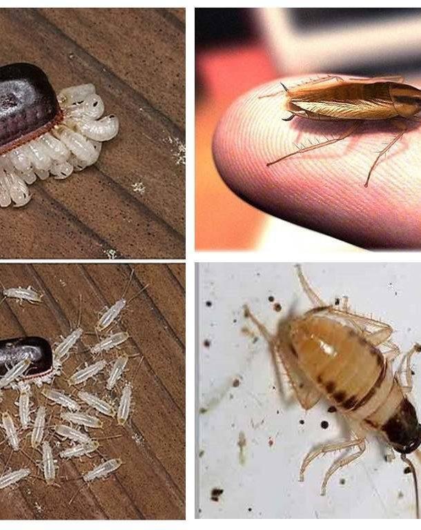От чего тараканы появляются тараканы: соседи, посылки и новые покупки
