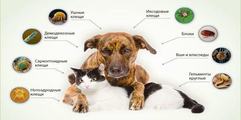 Пироплазмоз у кошек: симптомы и лечение