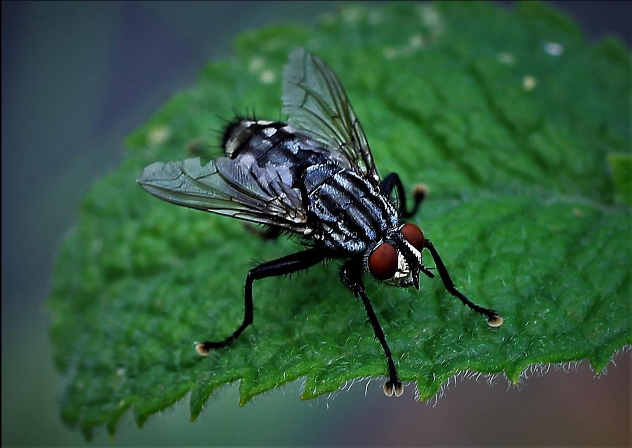 Описание и фото мясной мухи (трупной)