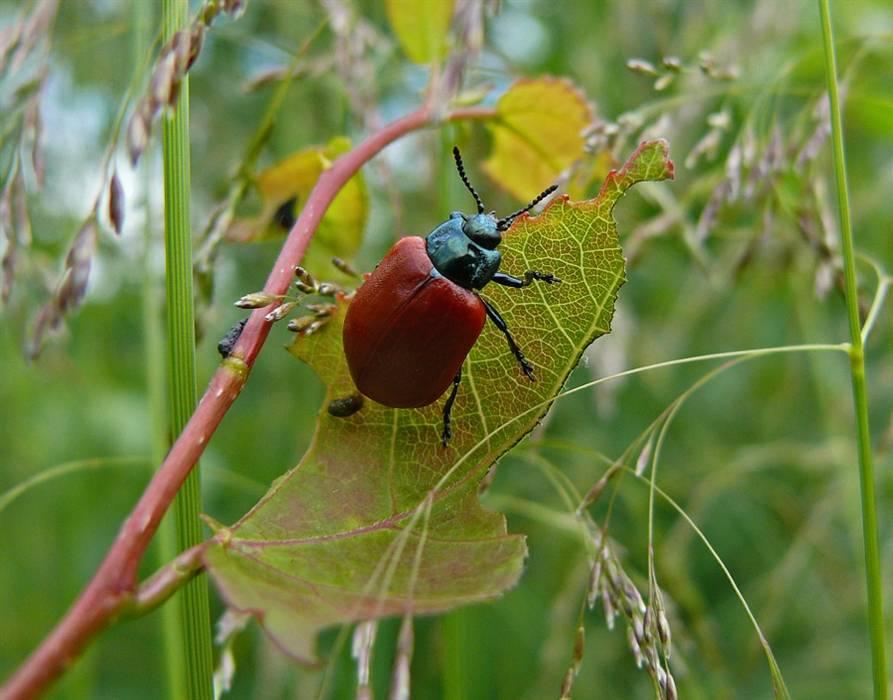 Как бороться с жуками листоедами