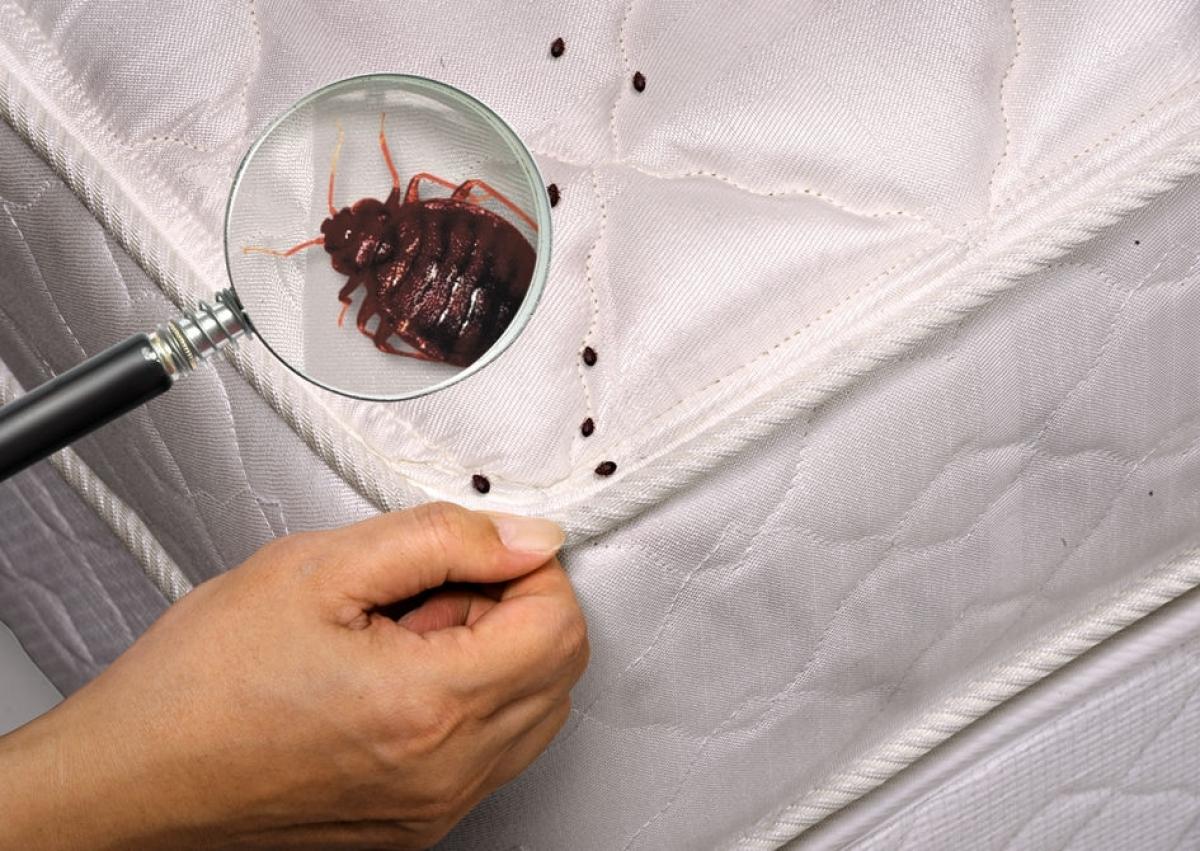 Как выглядят бельевые клопы – фото и описание