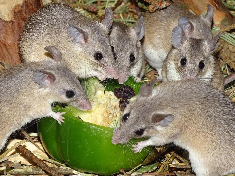 Размножение мышей - сорнякам нет