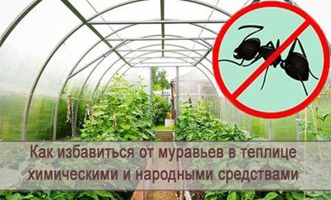 Как избавиться от муравьев в теплице - самые эффективные способы