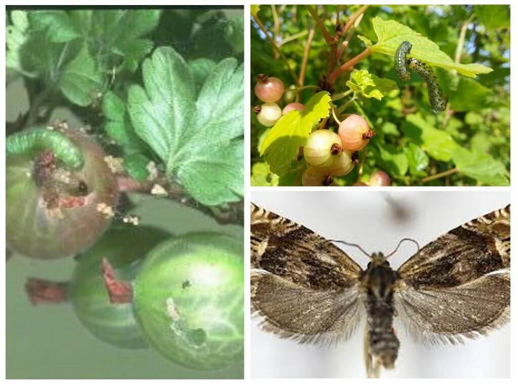Кто ест листья крыжовника и что делать в таком случае: как бороться с гусеницами на крыжовнике и другими вредителями