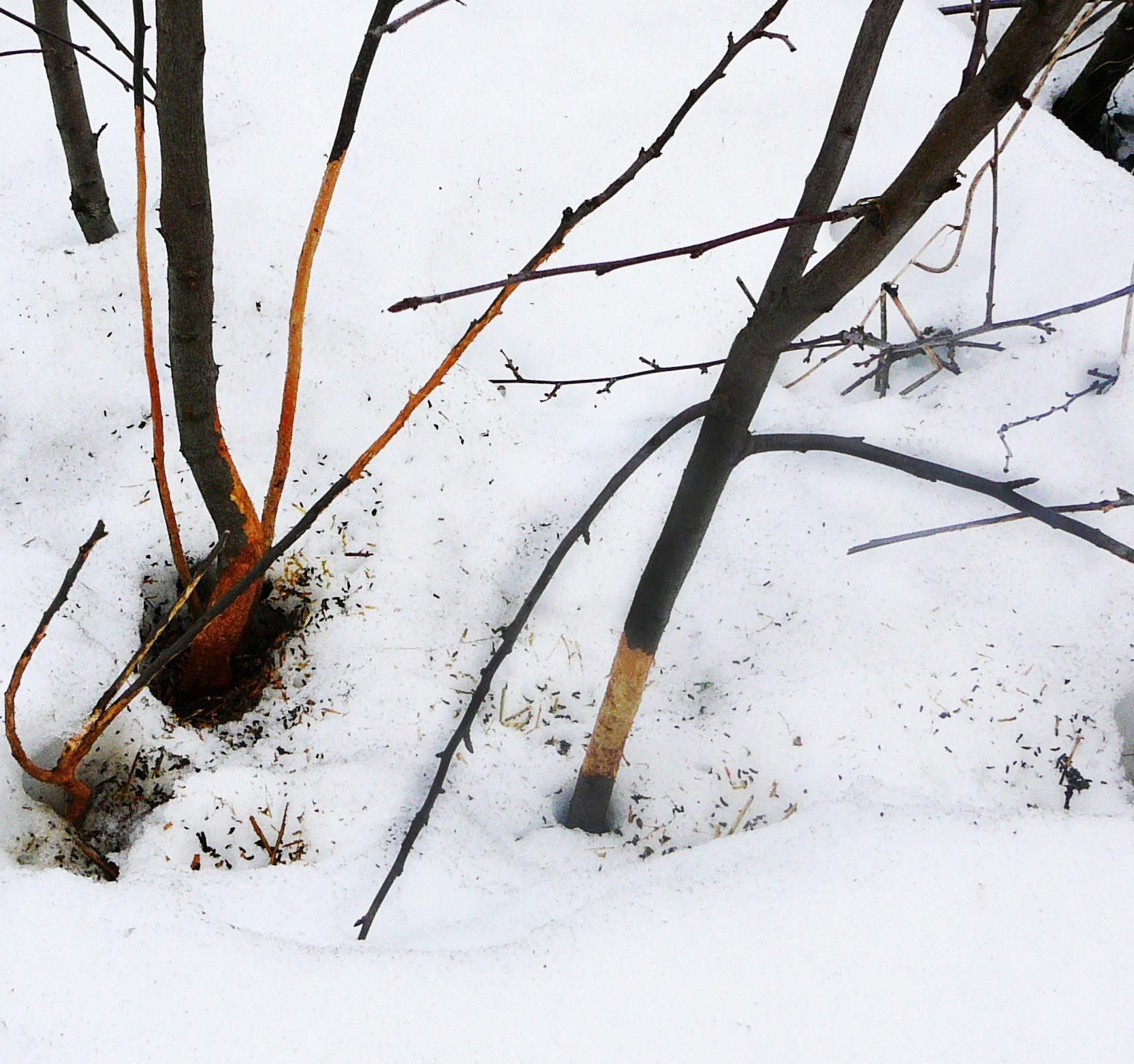 Кору яблони погрызли грызуны: как можно спасти дерево с поврежденной корой, чем обработать ствол