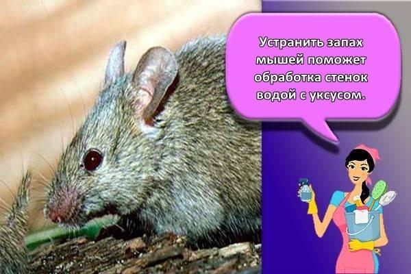 Как можно избавиться от запаха мышей?