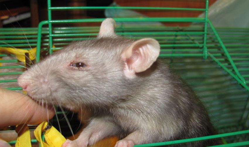 Как понять, что крыса умирает и что делать после гибели питомца