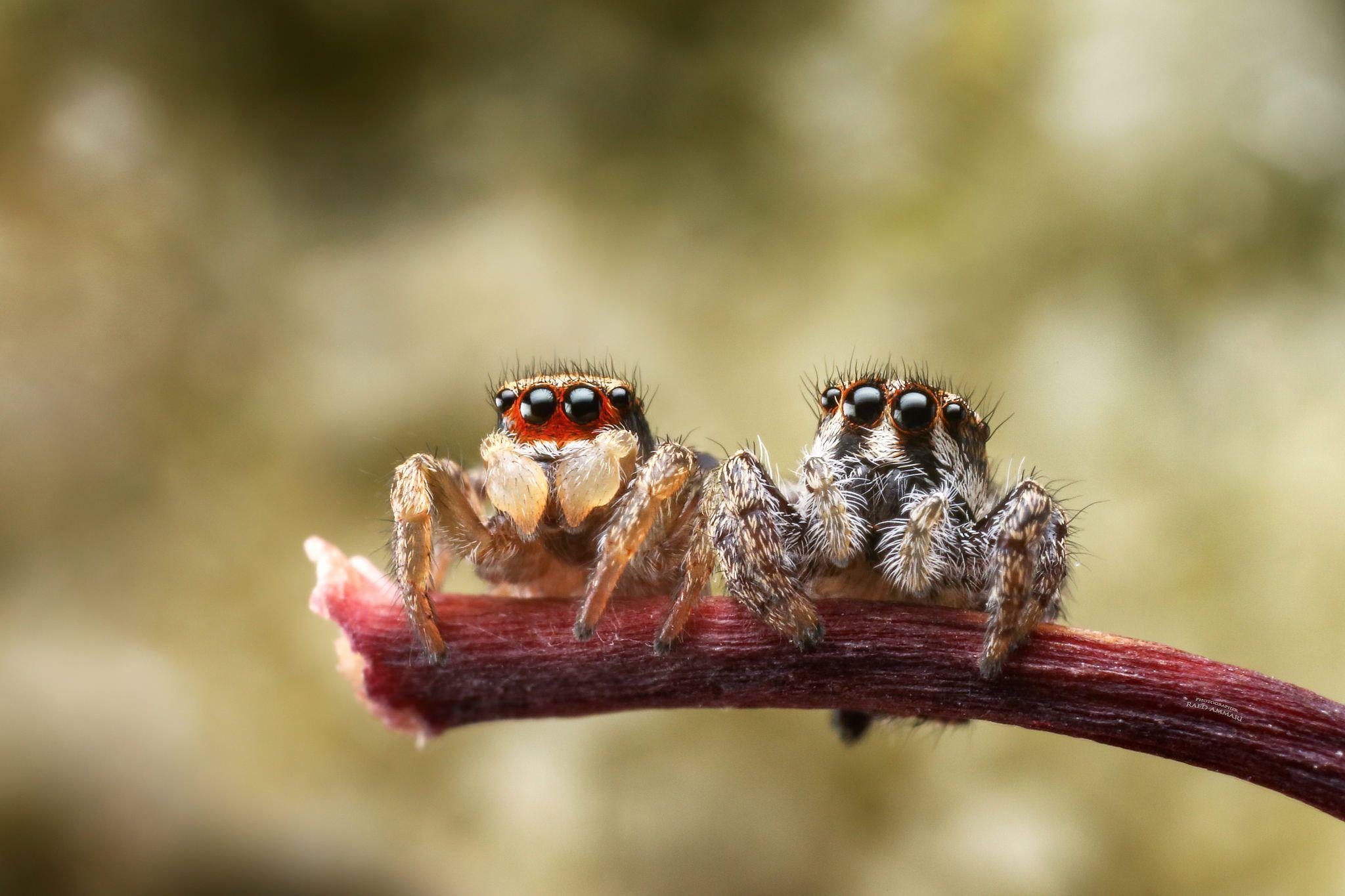 Рогатый паук кругопряд — зачем ему шипы и опасен ли он для человека?