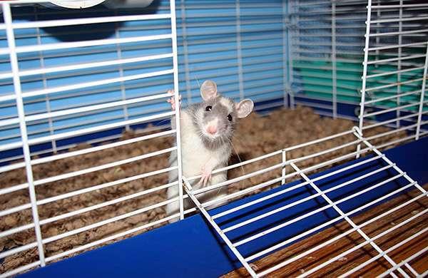 Самые большие крысы в мире: домашние и дикие