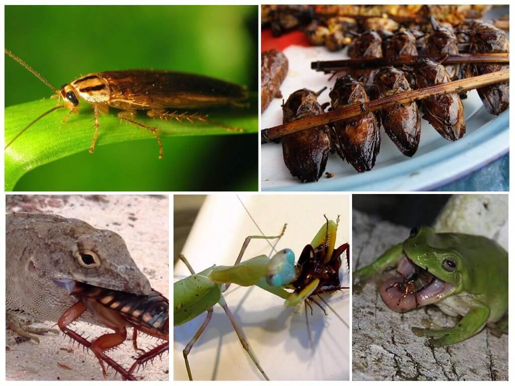 Чем опасны тараканы для человека и домашних животных