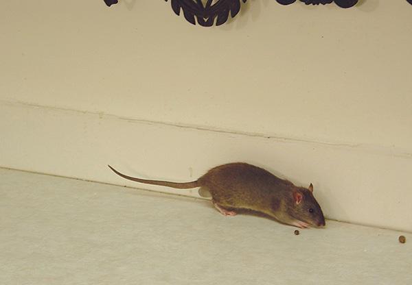 Как избавиться от крыс в частном доме с помощью народных средств навсегда, каких запахов они боятся