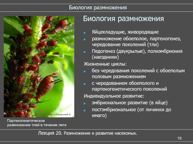 Тли (тля) – особенности морфологии и жизненных циклов | справочник пестициды.ru