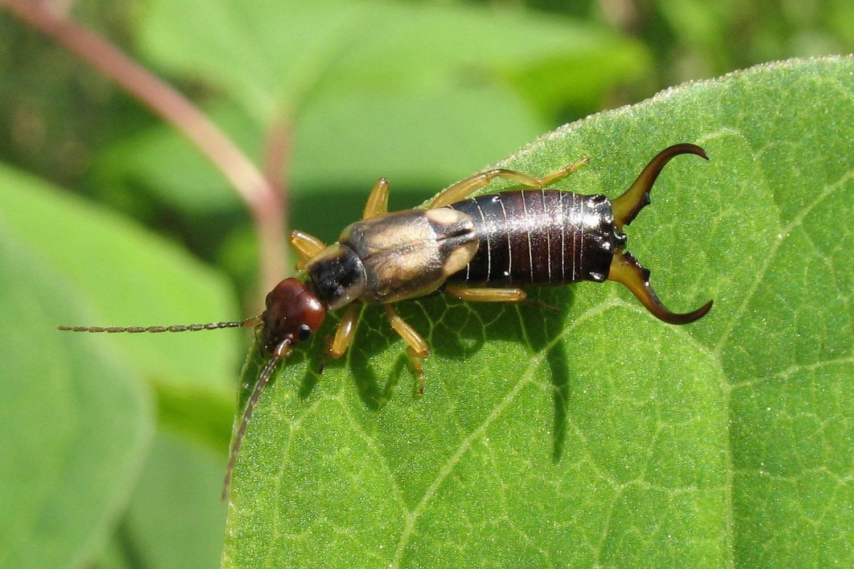 Чем опасна двухвостка для человека и укусы насекомого