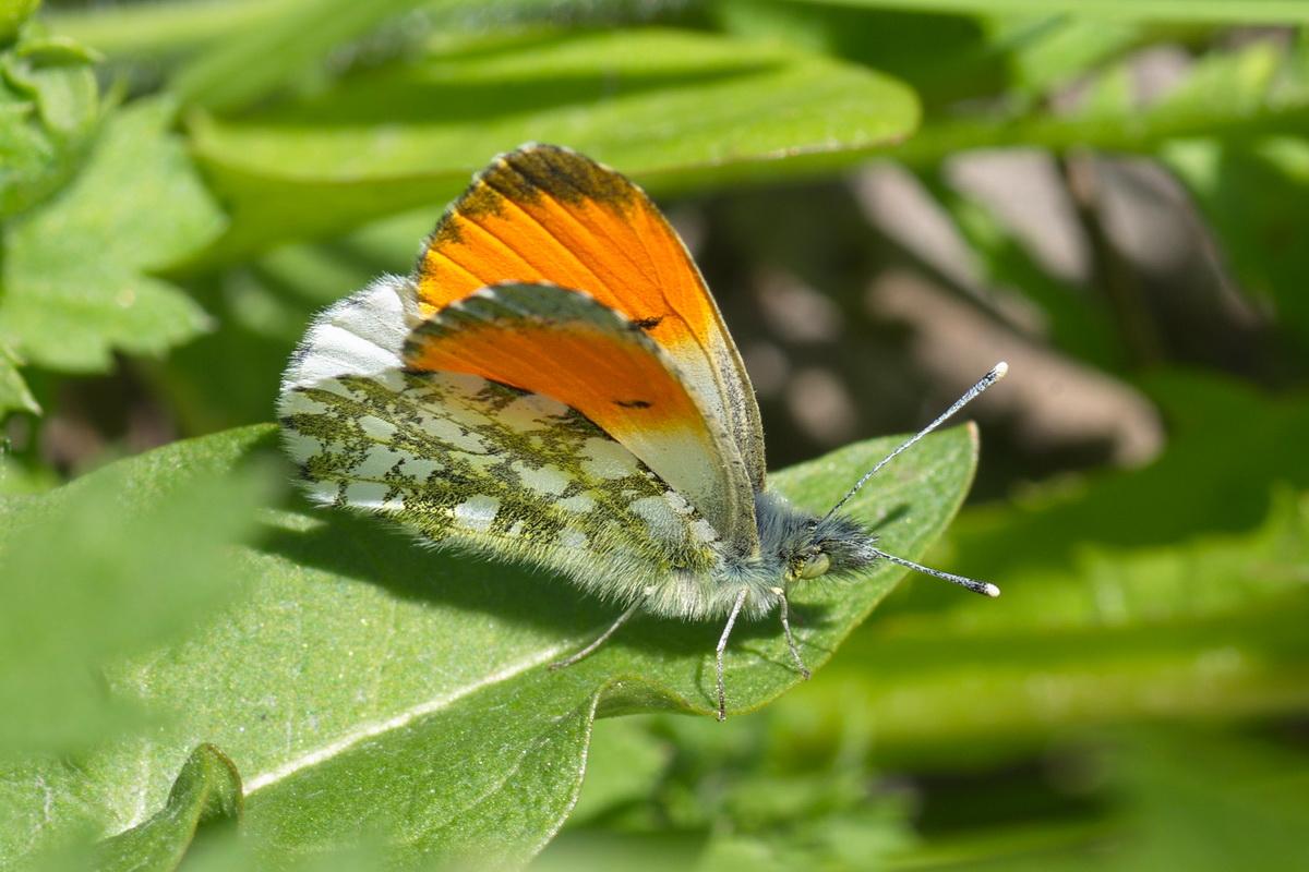 Бабочка брюквенница – летняя белянка