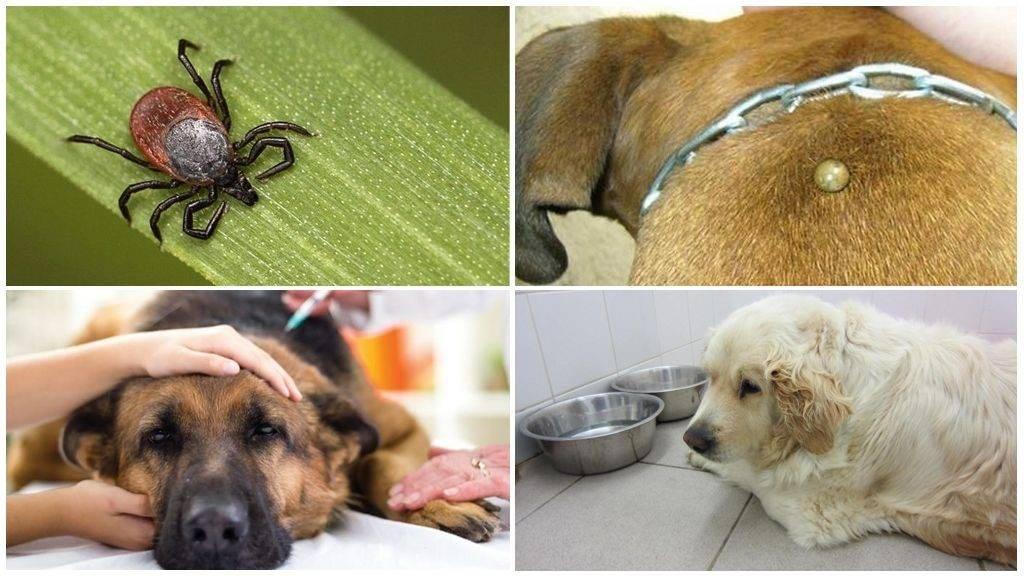 Топ-5 способов защиты собак от клещей